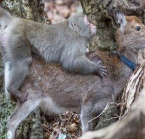 """Μαϊμού προσπαθεί να... """"απαυτώσει"""" ελάφι! Λίγα λεπτά μετά συμβαίνει το απίστευτο! - Περίεργα-Funny"""