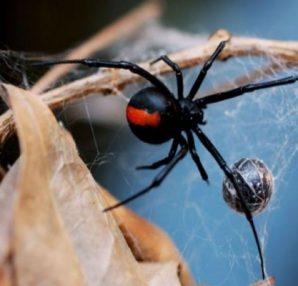 """Του επιτέθηκε δηλητηριώδης αράχνη και δάγκωσε το μόριο του - Αυτό που ακολούθησε θα σας κάνει να """"παγώσετε"""" - Περίεργα-Funny"""