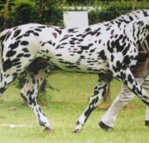 Το άλογο - τίγρης είναι το πιο σπάνιο σε όλο τον κόσμο - Οι βούλες προέρχονται από... - Περίεργα-Funny