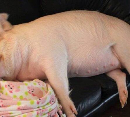 Ο κτηνητρόφος και τα γουρούνια που... δεν γκαστρώνονται: Το σόκιν ανέκδοτο της ημέρας (22/5) - Funny-Περίεργα