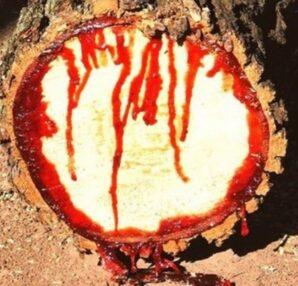 Κι ομως! Παράξενο δέντρο «ματώνει» όταν κόβεται - Funny-Περίεργα