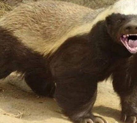 Το πιο επικίνδυνο ζώο στον κόσμο: Σκοτώνει τίγρεις, λιοντάρια και αρκούδες, τρέφεται με δηλητηριώδη φίδια! - Funny-Περίεργα